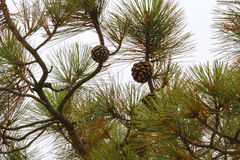 Torrey Pine Imagem de Stock