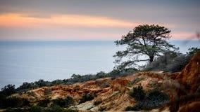 Torrey Pine-Baum gegen das Meer Stockbild