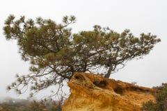 Torrey Pine Stock Image