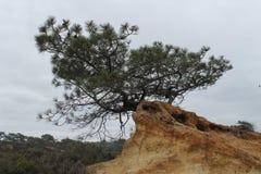 Torrey Pine (torreyana de pinus) la Californie du sud photos libres de droits