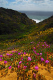 Torrey Pines State park. Beautiful wildflowers along the coast of california in Spring stock photography