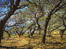Torrey Pines Trees, California Fotografía de archivo libre de regalías