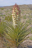 Torrey Yucca in Bloom in the Desert Royalty Free Stock Photo