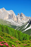 Torri del Vajolet in Dolomites. At the foreground of blooming azaleas,Trentino, South Tirol, Italy Royalty Free Stock Images
