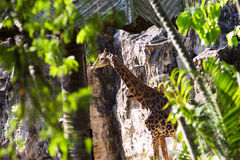 Torri della giraffa fra la natura tropicale Immagini Stock