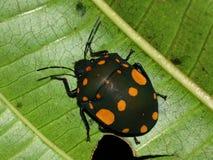 Torridus de Pachycoris del insecto Visión superior Imagen de archivo