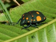 Torridus de Pachycoris del insecto Vista lateral Imagenes de archivo