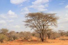 Torrt akaciaträd i den afrikanska savannet med många små fågelreden arkivfoton
