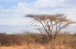 Torrt akaciaträd i den afrikanska savannet med många små fågelreden arkivfoto