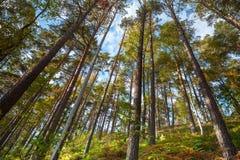 Torrt barrskoglandskap för sommar Arkivbilder