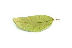 Torrt blad med isolerat royaltyfria foton