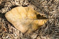 Torrt blad på jordningen i höstskog Arkivfoto