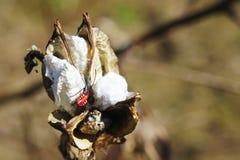 Torrt bomullsträd Royaltyfria Foton