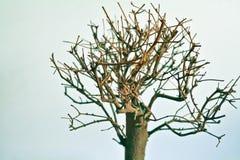 Torrt bonsaiträd Royaltyfri Bild