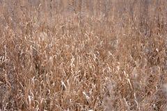 Torrt fält efter höst gräs på fältet vissnade gräs för hötexturvete fotografering för bildbyråer