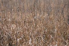Torrt fält efter höst gräs på fältet vissnade gräs för hötexturvete royaltyfria bilder