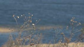 Torrt fältgräs framme av vattenreflexionen stock video