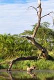 Torrt för träd vatten över - i Serengetien Tanzanya Royaltyfria Bilder