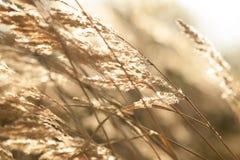 Torrt gräs Fotografering för Bildbyråer