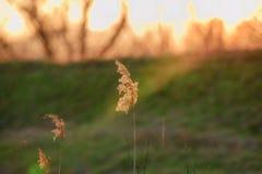 Torrt gräs exponerat av solljus på solnedgången På en grön bakgrund royaltyfria bilder