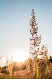Torrt gräs för lång sommar mot en solnedgång royaltyfria bilder