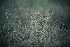 Torrt gräs för sommar Royaltyfri Foto