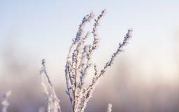 Torrt gräs i rimfrosten fotografering för bildbyråer