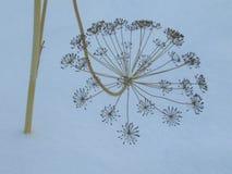 Torrt gräs i snöAnethumgraveolensna arkivfoton