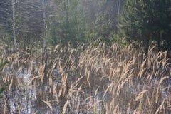 Torrt gräs i vinternatur arkivfoton