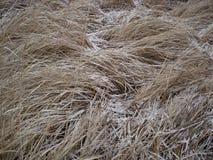 Torrt gräs med snö Fotografering för Bildbyråer