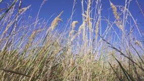 Torrt gräs mot den blåa himlen arkivfilmer