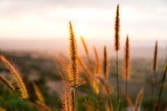 Torrt gräs på solnedgången arkivfoto