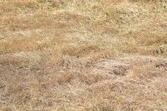 Torrt gult gräs Royaltyfri Foto