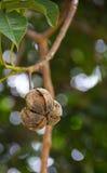 Torrt gummifrö på träd Arkivfoto