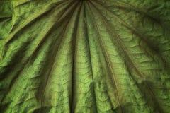 Torrt för fjärilsträdblad upp Royaltyfri Fotografi