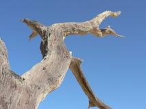 torrt trä Royaltyfri Fotografi