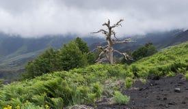 Torrt träd efter utbrottet av vulkan, lava, etna, Sicilien royaltyfria bilder
