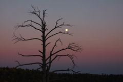 Torrt träd för kontur med månen Royaltyfria Bilder