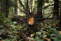 Torrt träd för snitt med filialer i en skog Royaltyfria Foton