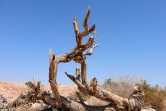Torrt träd i den Negev öknen Fotografering för Bildbyråer