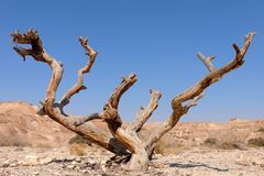Torrt träd i den Negev öknen Royaltyfri Fotografi