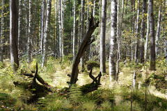 Torrt träd i skogen Arkivfoto