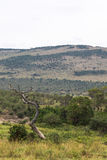 Torrt träd och kulle bakgrund gloden savannatreen för liggande en mara masai Fotografering för Bildbyråer