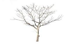 Torrt träd som isoleras på vit Arkivbild