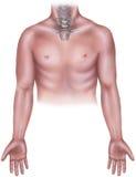 Torse - mâle avec les os de cou de Cervicle, le Manubrium et la clavicule photo libre de droits