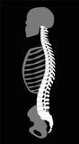 Torse squelettique de corps supérieur d'épine dorsale illustration libre de droits