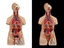Torse unisexe modèle anatomique Photos libres de droits