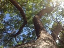 Torsione dei rami di albero che raggiungono fino al cielo Fotografia Stock