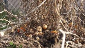 Torsione morta del carrello del pomodoro archivi video
