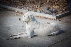 Torso dirty white dog sitting vacant on the road. Stock Photos